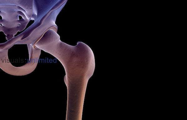 An anterolateral view (left side) of the bones of the hip. Royalty Free