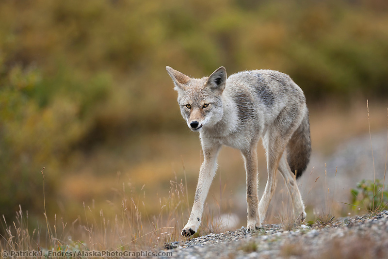 Coyote, Denali National Park, interior, Alaska.