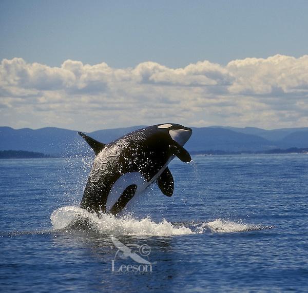 Orca/Killer Whale (Orcinus orca) breaching. Haro Strait between  British Columbia, Canada & Washington State, USA.