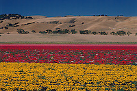 California, Flower Farm near Gilroy