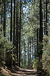 Trail through the pine forests in the north of Tenerife. Canary Islands.