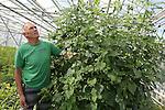 Foto: VidiPhoto<br /> <br /> LISSE - Asclepiakweker Nico Janson uit Lisse aan het werk in zijn tuin een kassen. Janson is onder andere kweker van de Asclepia Beatrix, waarvan slechts 5000 vierkante meter in ons land wordt geteeld.