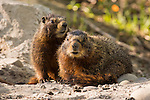 A pair of marmots rest on a rock near there burrow at Grand Teton National Park, Wyoming.