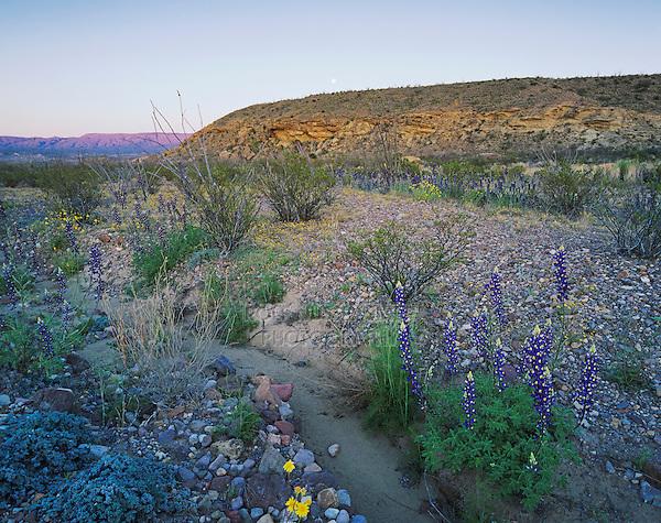 Desert in bloom with Big Bend Bluebonnet Parralena Ocotillo, Big Bend National Park,Texas, USA