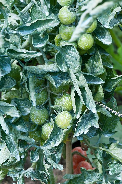 Tomatoes sprayed with bordeaux mixture alan buckingham - Bordeaux mixture ...