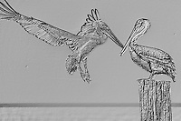 Brown Pelicans - Naples Beach, Naples, Florida
