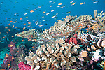 Rainbow Reef, Somosomo Strait, Fiji; an aggregation of Scalefin Anthias and Chromis fish swimming over the hard coral reef