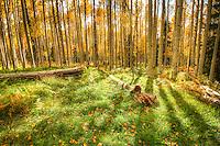 Aspen Forest - Arizona