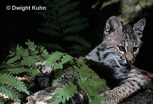 MA26-075z  Bobcat - young - Felis rufus