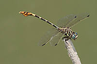 360220010 a wild male five-striped leaftail dragonfly phyllogomphoides albrighti perches on a dead stick in bentsen rio grande valley state park hidalgo county texas