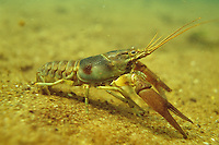 Rusty Crayfish, Underwater