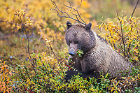 Grizzly bear feeds on ripe, red, soapberries on the autumn tundra in Denali National Park.