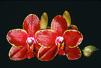 Phalaenopsis Royal Amboin 'Breckenridge', AM/AOS orchid hybrid of Royal Velvet x amboinensis, 1988, intensely red and yellow colors