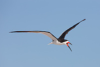 Black Skimmer (Rynchops niger) in-flight, Nickerson Beach, Lido Beach, NY