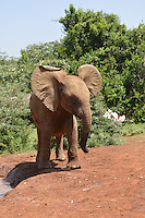 The David Sheldrick Wildlife Trust in Nairobi Kenya cares for orphaned and injured elephants in addition to rhinos Janaury 2014. Photo Suzi Altman