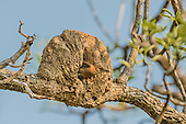 Rufous Hornero (Furnarius rufus) and nest, Pantanal, Mato Grosso, Brazil.