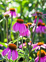Kims Knee High Purple Coneflower (Echinacea 'Kims Knee High')