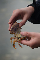 Baby Red Rock Crab (Cancer productus) in Jolie's Hands,