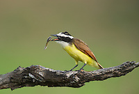 554810211 a wild great kiskadee pitangus sulphuratus perches on a dead mesquite tree limb feeding on a water bug on laguna seca ranch near edinburg texas united states