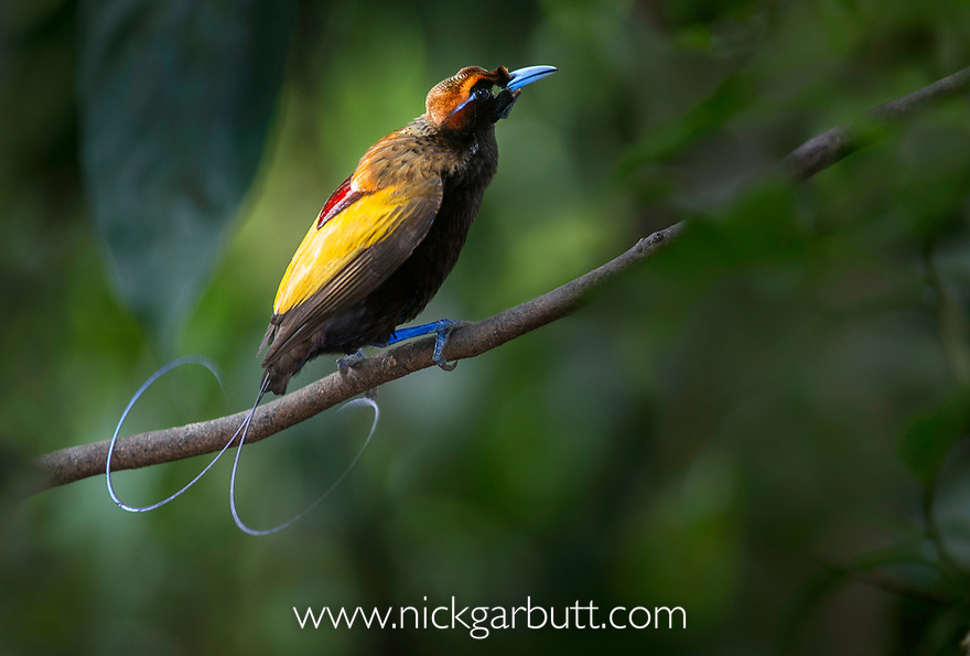 Male Magnificent Bird of Paradise (Diphyllodes magnificus). Lower montane highlands near Mount Hagen, Enga Province, Papua New Guinea. Endemic.