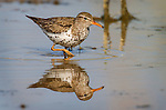 Spotted Sandpiper (Actitis macularius) during breeding season, in a small pond, Adams County, Colorado