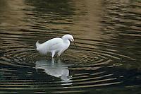 525158010 a wild breeding plumaged snowy egret egretta thula stands in a shallow estuary feeding in santa barbara county california