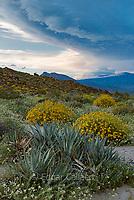 Agave, Brittlebush, Glorietta Canyon, Anza-Borrego Desert