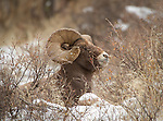 Large Bighorn Sheep ram, lying in the snow