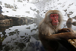 "Snow Monkeys bathing in an Onsen of Joshinetsu Kogen National Park, Japan / Singes des  neiges prenant un bain chaud dans unonsen du parc national Joshinetsu Kogen, Japon // Jigokudani Monkey Park (Jigokudani Yaen K?en) is in Yamanouchi, Shimotakai District, Nagano Prefecture, Japan. It is part of the Joshinetsu Kogen National Park (locally known as Shigakogen), and is located in the valley of the Yokoyu-River, in the northern part of the prefecture. The name Jigokudani, meaning ""Hell's Valley"", is due to the steam and boiling water that bubbles out of small crevices in the frozen ground, surrounded by steep cliffs and formidably cold and hostile forests..The heavy snowfalls (snow covers the ground for 4 months a year), an elevation of 850 metres, and being only accessible via a narrow two kilometre footpath through the forest, keep it uncrowded despite being relatively well-known..It is famous for its large population of wild Japanese Macaques, more commonly referred to as Snow Monkeys, that go to the valley during the winter, foraging elsewhere in the national park during the warmer months. Starting in 1963, the monkeys descend from the steep cliffs and forest to sit in the warm waters of the onsen (hotsprings), and return to the security of the forests in the evenings..Jigokudani is not the farthest north that monkeys live. The Shimokita Peninsula is at the northern part of the Honsh? island and the northwest area of this peninsula, is the northern limit of Japanese Macaque habitat. No (non-human) primate is known to live in a colder climate."