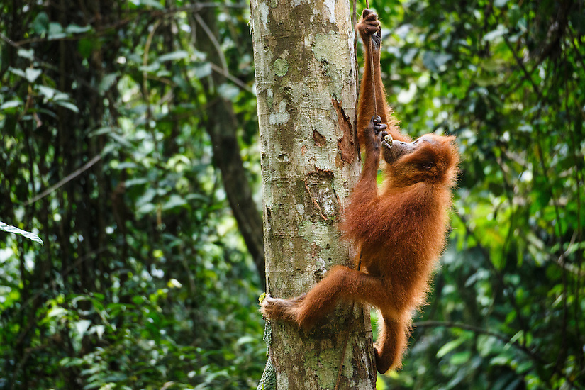 A child Sumatran orangutan (Pongo abelii) climbs a vine in Gunung Leuser National Park in Northern Sumatra.