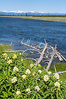 Madison River in Yellowstone with wildflowers in bloom