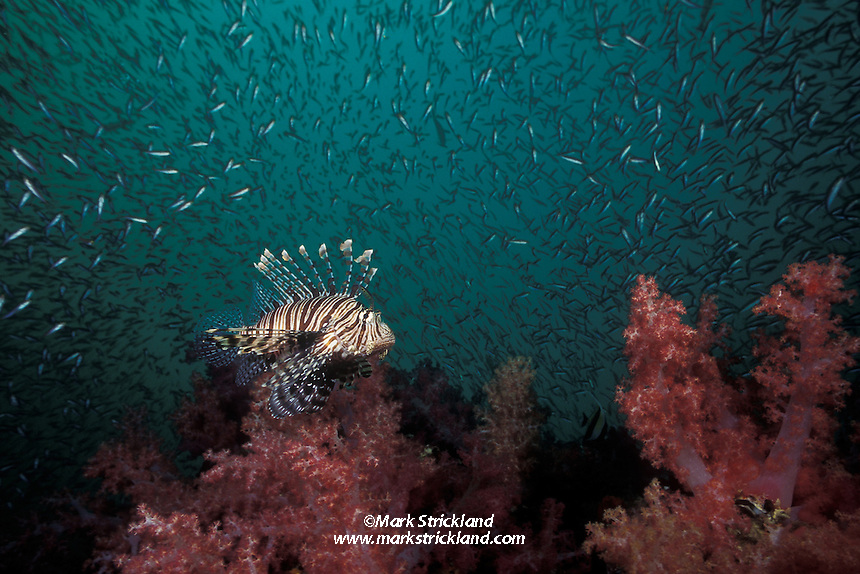 Hovering over a forest of soft corals, Dendonepthya sp., this Indian Lionfish, Pterois muricata, is surrounded by a cloud of baitfish, providing it with an abundant food source. Hin Muang/Purple Rock, Thailand, Andaman Sea