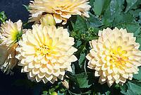 Dahlia 'Maxi Toluca' Dalina Series (yellow orange)