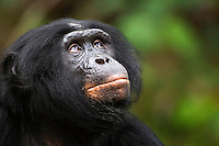 Bonobo mature male head aged 27 years (Pan paniscus), Lola Ya Bonobo Sanctuary, Democratic Republic of Congo.