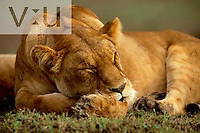 A female lion sleeping. ,Panthera leo, Masai Mara Game Reserve, Kenya