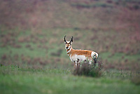673080110 a wild pronghorn buck antilocarpa americana poses on the open prairie in the panhandle of northwest texas