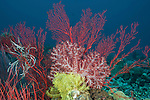 Soft coral (Dendronephthya sp.) with gorgonian fan and crinoid in the reef