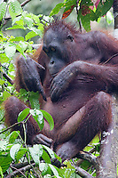 Mature female Orangutan, Pongo pygmaeus morio, picking and eating a flea at the Orang Utan Sanctuary Sepilok, Sabah, Borneo