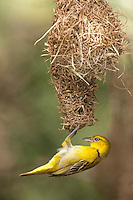 Lesser Masked-Weaver female at the nest (Ploceus intermedius), South Africa.
