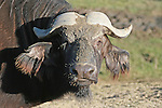 Longfellow the Water Buffalo.