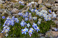Along a trail up a 14,000 foot peak in Colorado, this wildflower image shows a cluster of Columbine (the state flower of Colorado) resting in the morning sunlight.
