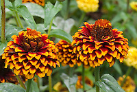 Zinnia haageana 'Aztec Sunset' summer annual flower in two toned bloom