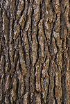 Bark of sugar pine (Pinus lambertiana)