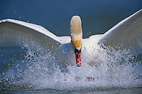 Mute Swan, Cygnus olor, male landing, Rheindelta, Germany, Europe