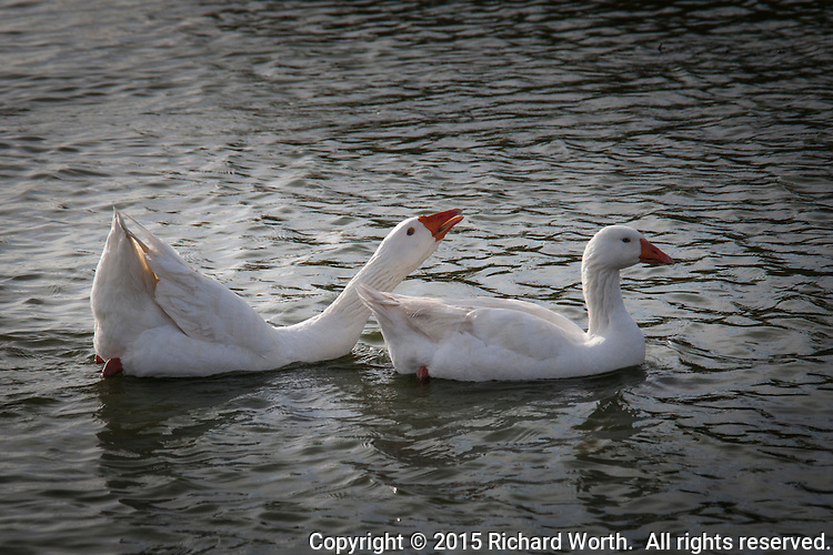 A domestic goose opens its bill to bellow, or squawk, while floating with others in a pond at a neighbood park in the Bay Area near San Francisco.