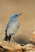 551130017 a wild  mexican jay alphelocoma wollweberi perches on a rock in madera canyon green valley arizona united states