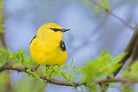 591600019 a wild male blue-winged warbler vermivora cyanoptera perches in a mesquite tree on south padre island cameron county texas