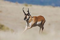 Pronghorn (Antilocapra americana), male running, Yellowstone National Park, Wyoming, USA