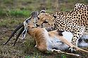 Cheetah (Acinonyx jubatus) killing Thompson's gazelle (Gazella thomsonii), Maasai Mara, Kenya