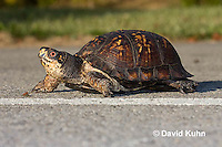 1003-0803  Male Eastern Box Turtle Crossing Paved Road - Terrapene carolina © David Kuhn/Dwight Kuhn Photography.